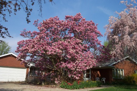 Nonna's magnolia tree - April 11, 2010